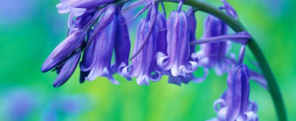 Bluebells! Take Part in a Survey